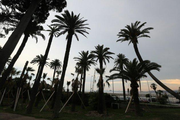 Il est déjà trop tard pour sauver tous les palmiers du littoral français