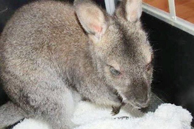 Calvados: une cagnotte en ligne pour sauver un petit kangourou