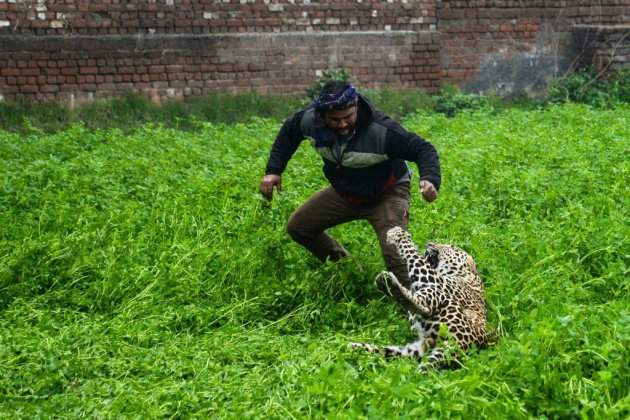 Inde: peur sur la ville, il y a un léopard dans le jardin