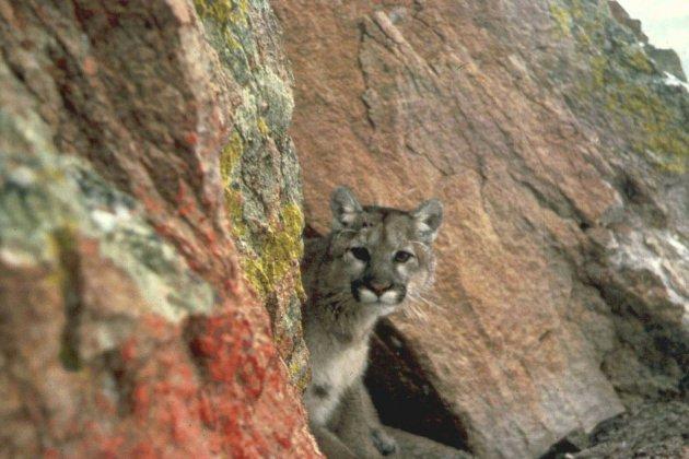 USA: un joggeur tue un puma à mains nues dans le Colorado