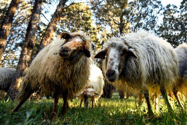 Une brigade de 500 moutons veille sur le plus grand parc de Madrid