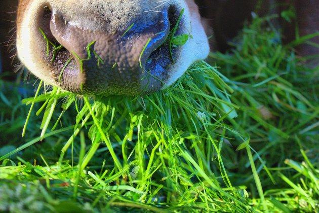 En Normandie, la justice saisit des vaches menacées de maltraitance