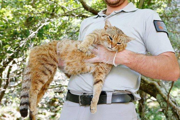 """Sur les traces du """"chat-renard"""", probable nouvelle espèce de félin recensée en Corse"""