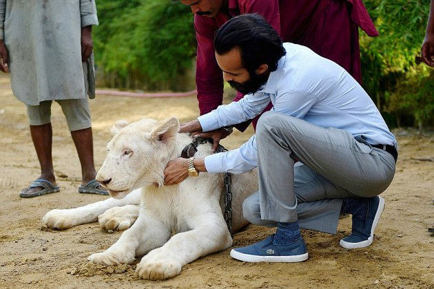 Au Pakistan, des lions comme animaux de compagnie