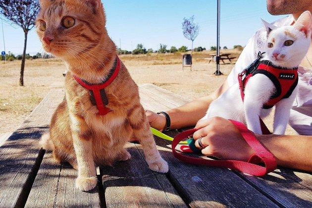 Alençon: une chatte marche jusqu'à Compostelle
