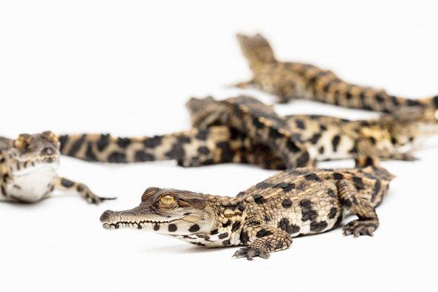 Des bébés de crocodiles en voie d'extinction sont nés à Biotropica!