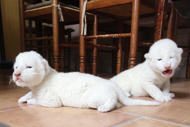 Deux lions blancs naissent dans une association en Seine-Maritime
