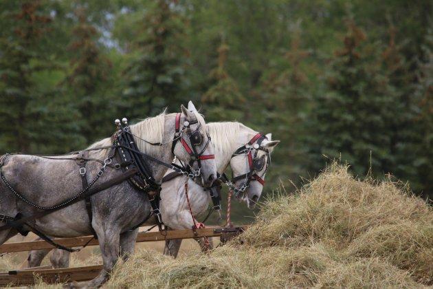 15 août: le cheval percheron en fête à Saint-Cyr-la-Rosière