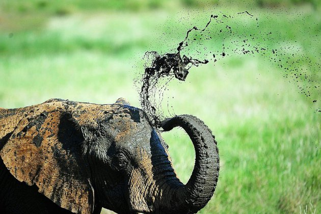 Espèces menacées: l'interdiction de la vente d'éléphants à des zoos en bonne voie