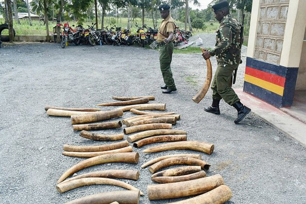 L'Europe incitée à fermer son marché de l'ivoire pour mieux protéger les éléphants