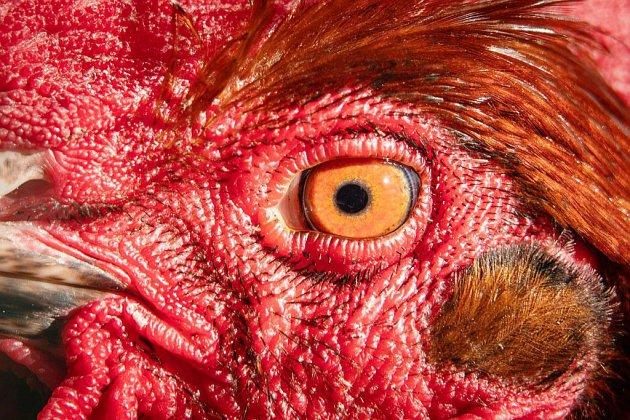 80 heures de TIG pour avoir décapité un coq vivant avec les dents