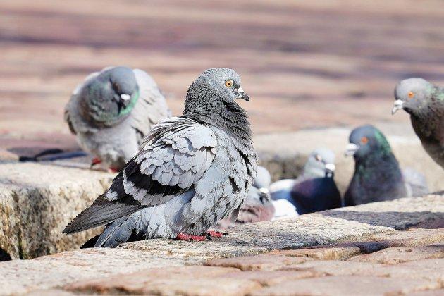 Le pigeon, nouvelle victime des coiffeurs