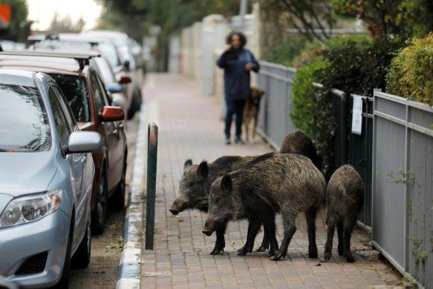 Protégés de la chasse, les sangliers prospèrent dans une ville d'Israël