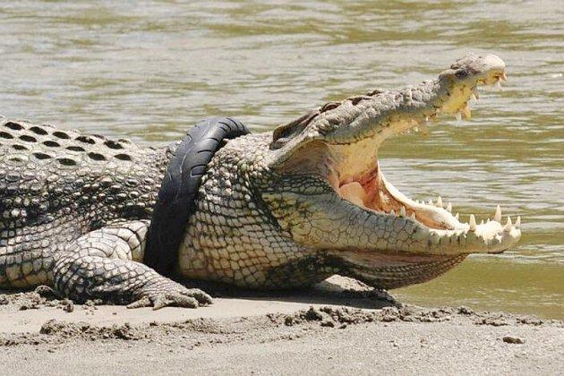 Une récompense pour libérer un crocodile du pneu autour de son cou