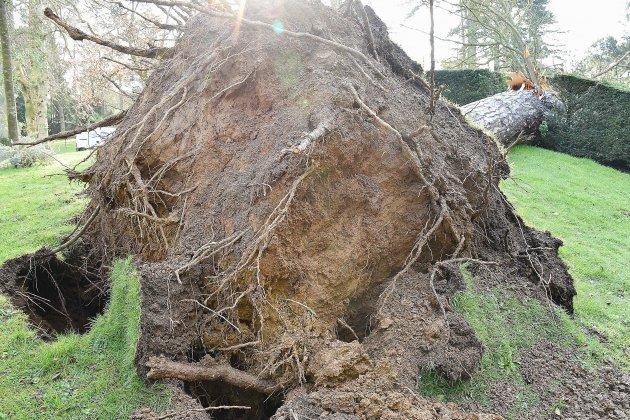 Un pin de 35mètres s'effondre sur le hêtre pleureur au jardin botanique