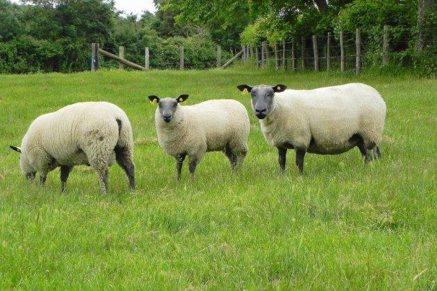 Plus de 200 moutons maltraités retirés à leur propriétaire