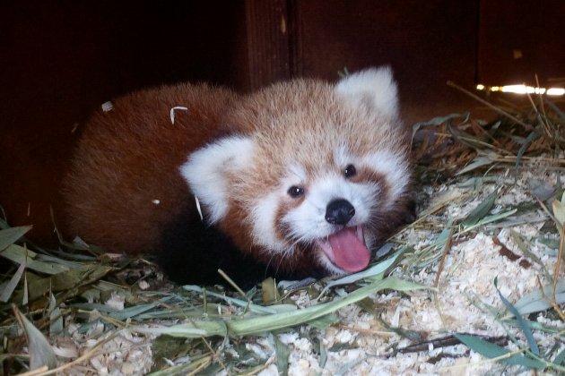 Le bébé panda roux du parc de Clères se cherche un nom