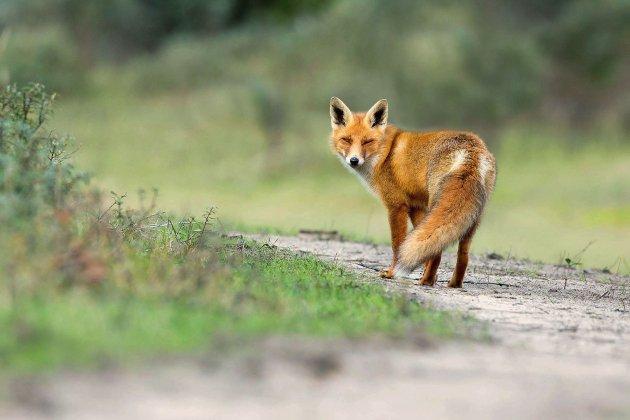 Abattage de renards: les associations obtiennent la suspension de l'arrêté