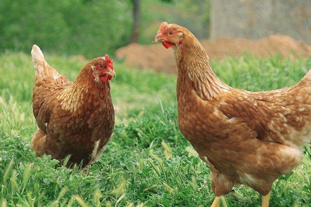 800 poules rousses à adopter pour les sauver de l'abattoir!