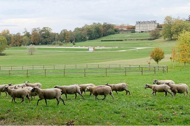 Le Haras du Pin introduit des moutons pour entretenir ses terrains