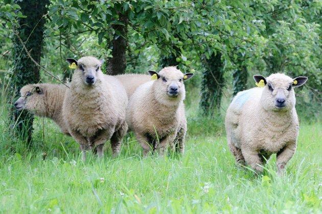 150 moutons pris au piège dans un mètre d'eau