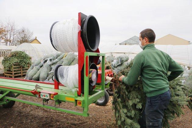 À la pépinière, près de 8000 sapins sont coupés chaque année
