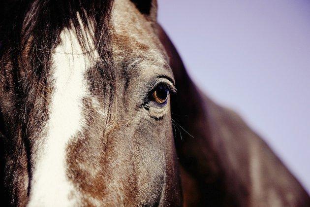 Trois chevaux euthanasiés après avoir été percutés par une voiture