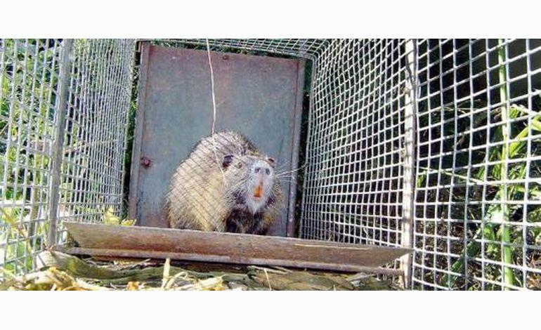 Manche : la lutte contre les ragondins et rats musqués va s'amplifier