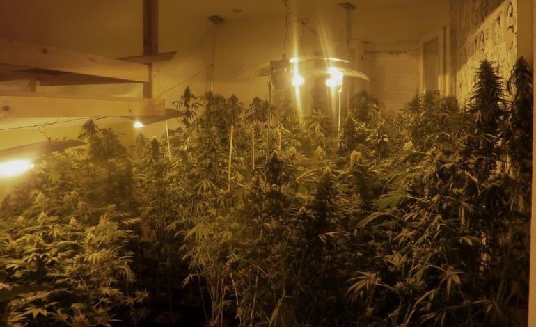 Le Havre : ils cultivaient près de 400 pieds de cannabis