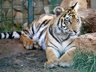 Un tigre de Sibérie découvert en mars à l'aéroport de Beyrouth qui doit commencer une nouvelle vie en France, à Aley, au Liban, le 10 juillet 2017    ANWAR AMRO [AFP]