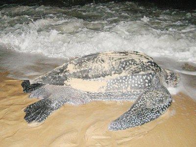 Une tortue luth sur la plage de Pointe Denis au Gabon - PATRICK FORT [AFP/Archives]
