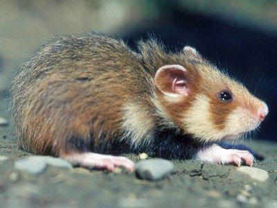 Un grand hamster d'Alsace - GERARD BAUMGART [AFP/Archives]