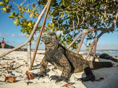 Un iguane sur la plage de Tortuga Bay, dans l'archipel des Galapagos, le 20 janvier 2018    Pablo COZZAGLIO [AFP]