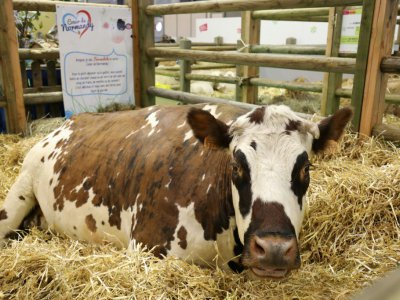 Une vache dans son enclos au salon de l'Agriculture le 24 février 2018 à Paris    ludovic MARIN [POOL/AFP]