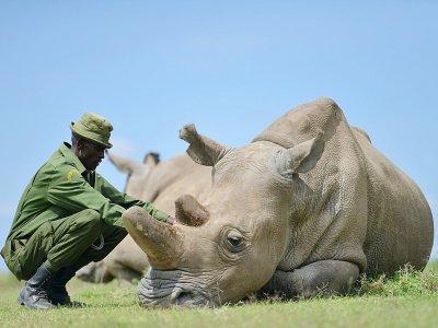 Najin, une des deux dernières femelles rhinocéros blancs du Nord, le 5 décembre 2016 avec un de ses gardiens de la réserve d'Ol Pejeta - Tony KARUMBA [AFP/Archives]