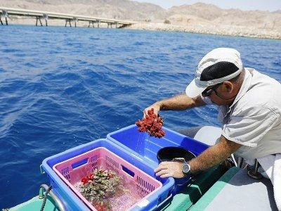 Des coraux en passe d'être transportés vers un observatoire, à Eilat le 20 mai 2019    MENAHEM KAHANA [AFP]