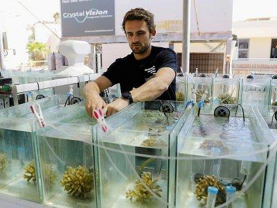 Guilhem Banc-Prandi, un doctorant français en biologie marine, inspecte des coraux dans des aquariums, à Eilat le 20 mai 2019    MENAHEM KAHANA [AFP]