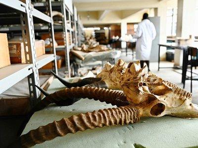 Des fossiles de différentes espèces au musée national de Nairobi, le 23 mai 2019 au Kenya    SIMON MAINA [AFP]