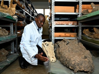 Le paléontologue kényan Job Kibii montre des fossiles de crocodiles, au musée national de Nairobi, le 23 mai 2019    SIMON MAINA [AFP]
