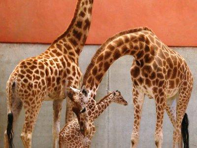 Le girafon avec ses parents - Parc Animalier de Champrépus
