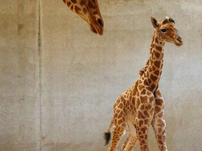 Quelques heures après la naissance, l'animal tenait déjà sur ses pattes. - Parc animalier de Champrépus