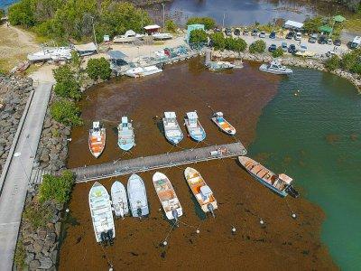 Le port du Gosier, en Guadeloupe, envahi par les Sargasses en avril 2018    Helene VALENZUELA [AFP/Archives]