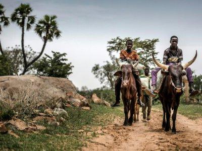 Deux garçons montent des boeufs de labour à Malamawa (Niger) dans le Sahel le 30 juin 2019 - Luis TATO [FAO/AFP]