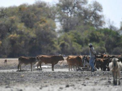 Un agriculteur et son bétail près de Maun (Botswana) le 28 septembre 2019 - MONIRUL BHUIYAN [AFP]
