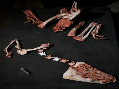 The first Gnathovorax skeleton was found in 2014 at Sao Joao do Polesine, and it is one of the oldest and best preserved dinosaur fossils ever found -- parts of it are seen here