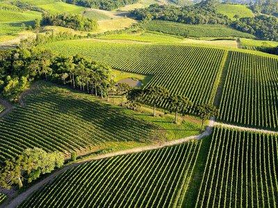 Le vignoble de la Familia Geisse à Pinto Bandeira, dans le sud du Brésil, le 3 décembre 2019    FLORIAN PLAUCHEUR [AFP]