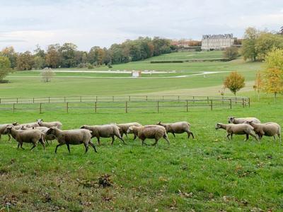 Pour entretenir ses terrains, le Haras du Pin opte pour une solution… ovine!    Haras du Pin