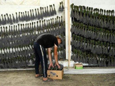 Un employé trie des ballot de brins de lavande, dans une grange à Valea-Trestieni, en Moldavie, le 10 juillet 2021 - SERGEI GAPON [AFP]