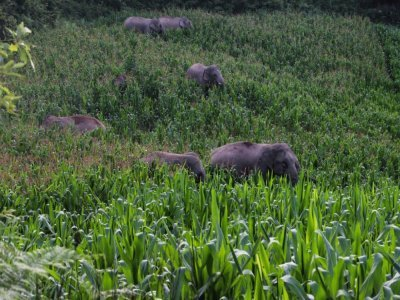 Des éléphants sauvages en migration dans la province chinoise du Yunnan, le 13 juillet 2021 - Handout [Yunnan Forest Brigade/AFP]