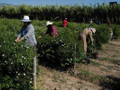 Des cueilleuses dans un champ de jasmin à Pégomas, dans les Alpes-Maritimes, le 26 août 2021    Valery HACHE [AFP]